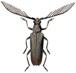 Wallace's Cyriopalus beetle (Cyriopalus wallacei). Collected by Wallace in Sarawak, Borneo and named after him by Pascoe in 1866.