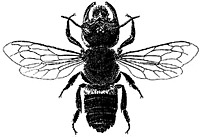Wallace's giant bee (Megachile pluto). This species was discovered by him on Bacan Island, Indonesia in 1859.